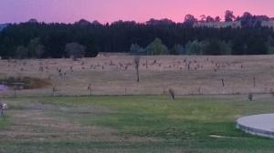 Kangaroos coming to the waterhole at dusk